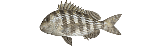 Sheepshead Backwater Fish